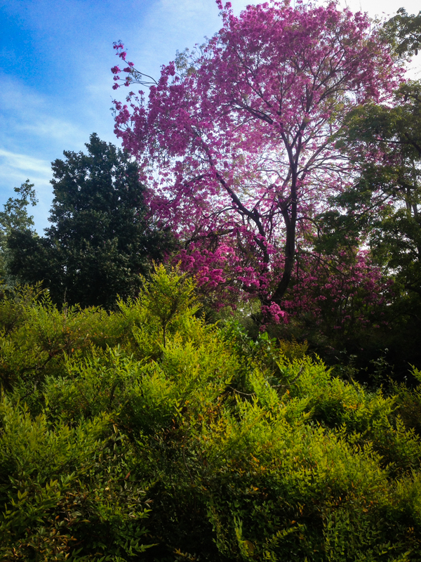 Beautiful pink blooms provide a focal point for this hillside view. iPhone 5. Photo by Ryan Sullivan.