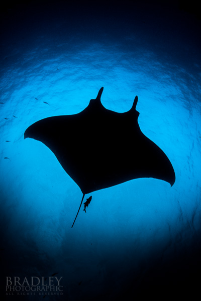 A silhouette of a giant manta ray at San Benedicto Island, Mexico.