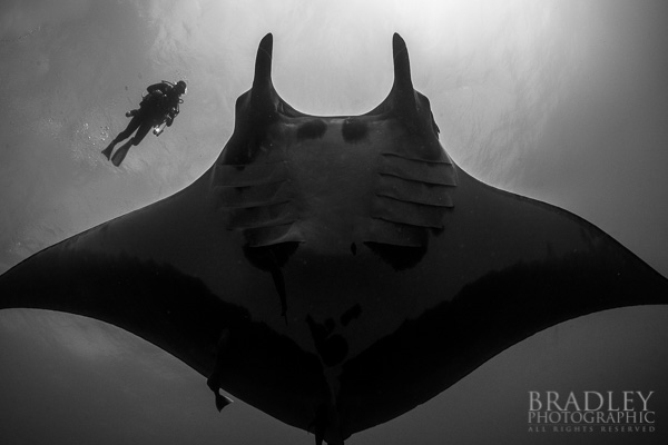 Giant manta rays can have wing spans wider than 20 feet making us divers appear comparatively small.