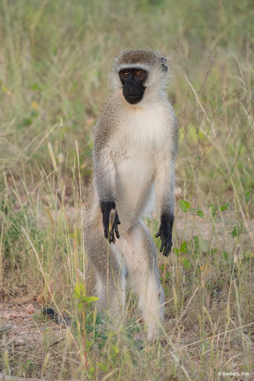 Vervet monkey - micro four thirds tips