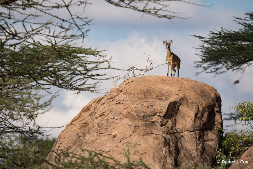 Klipspringer, Samburu National Park - micro four thirds tips