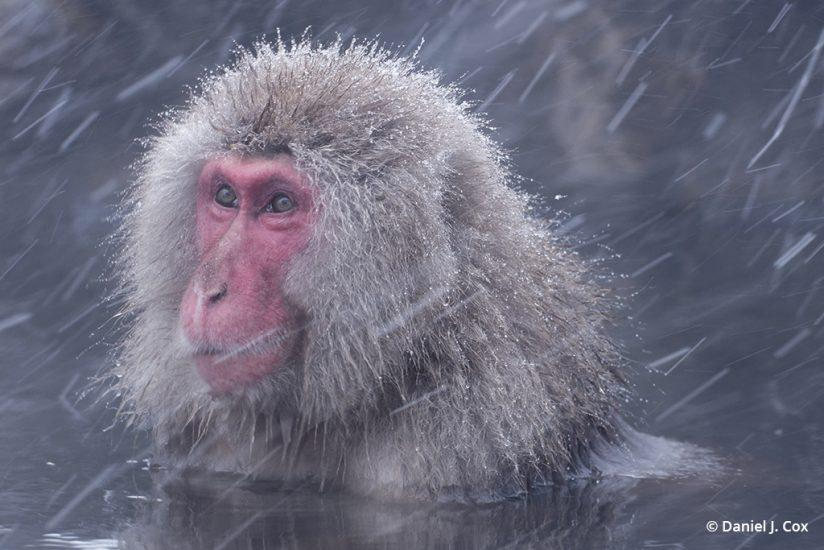 Japanese macaque - micro four thirds tips