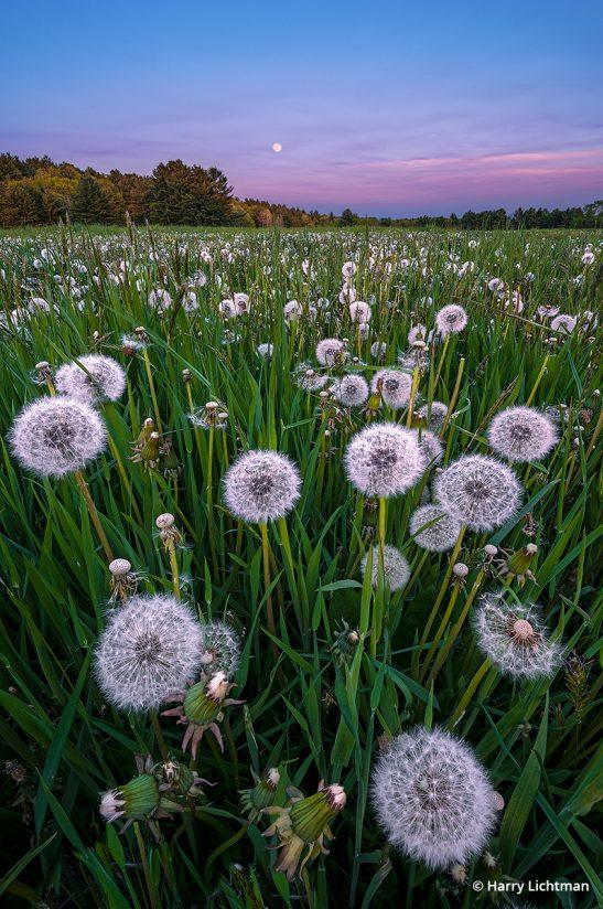 """Behind The Shot: """"In The Weeds"""" By Harry Lichtman— flower of Epping, N.H."""