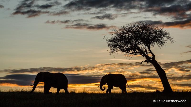 Today's Photo Of The Day is Elephant Silhouette by Kellie Netherwood. Location: Masai Mara, Kenya.