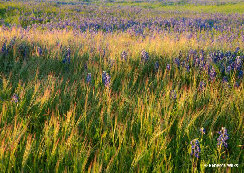 "Today's Photo Of The Day is ""Golden Grass"" by Rebecca Wilks. Location: Turkey Bend Recreation Area, Texas."