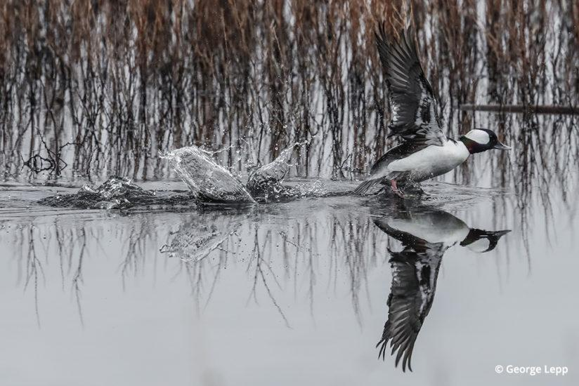 A bufflehead duck walks on water at Oregon's Klamath National Wildlife Refuge. EOS-1D X Mark II, Canon EF 500mm f/4L IS II USM with Canon Extender EF 1.4X III (700mm). Exposure: 1/3000 sec. at f/11, ISO 3200.