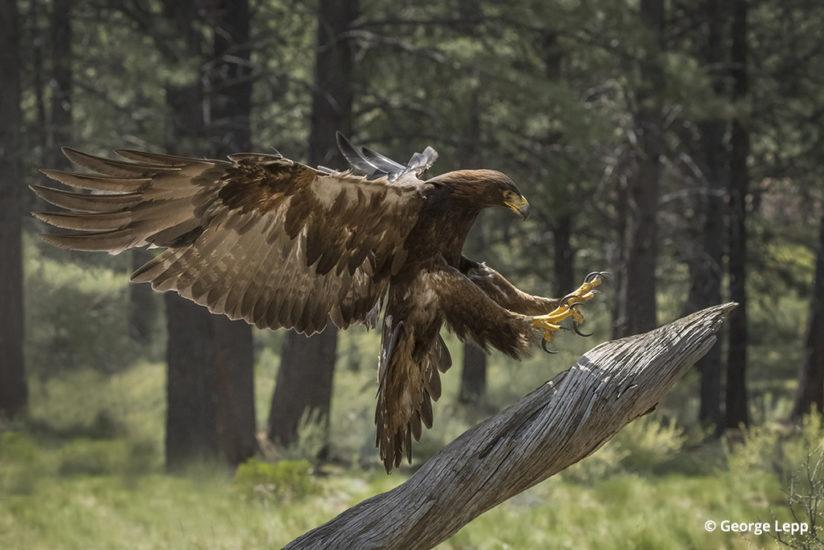 Golden eagle © George Lepp