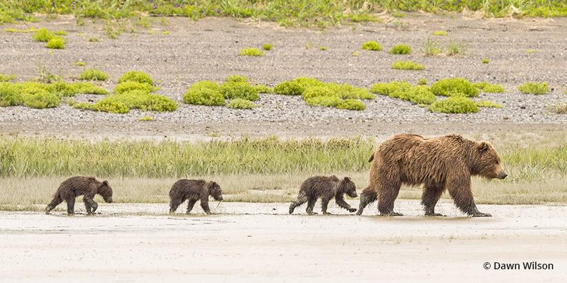 Bear Family on a Stroll By Dawn Wilson —Lake Clark National Park, Alaska