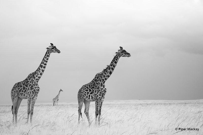 The composition and simplistic, almost nonexistent background grabbed my attention. Maasai Mara, Kenya.