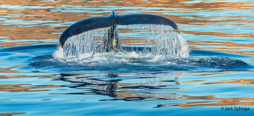 Humpback whale, with fluke marked with barnacle attachments, in the warm light of sunset, Sea of Cortez, Baja California Sur, Mexico, a CONANP protected area.