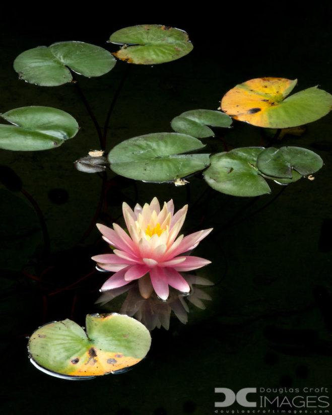 "Today's Photo Of The Day is ""Water Lily"" by Douglas Croft."