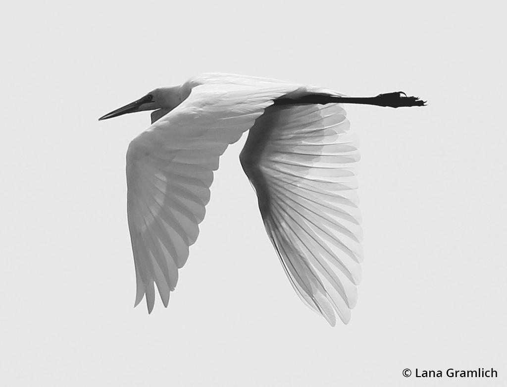 """Today's Photo Of The Day is """"Great Egret"""" by Lana Gramlich. Location: Big Branch Marsh National Wildlife Refuge, Louisiana."""