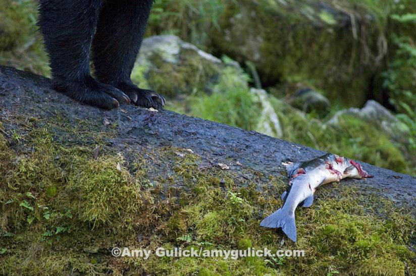 In the Tongass National Forest of Alaska, bears play a significant role in spreading nutrient-packed salmon carcasses throughout the forest. Scientists have discovered a marine nitrogen in trees near spawning streams that links directly back to the fish. ©Amy Gulick/amygulick.com