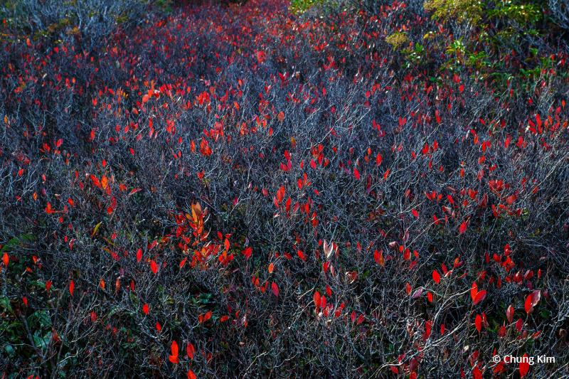 Today's Photo Of The Day is Crimson Flags by Chung Kim. Location: Dolly Sods Wilderness, West Virginia.