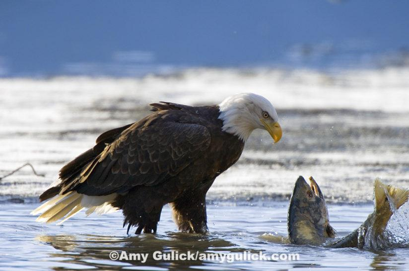 In the Tongass National Forest of Alaska, wild salmon provide food for many different species. Due to the abundance of salmon, the Tongass boasts the world's highest nesting density of bald eagles, as well as some of the world's highest densities of both brown and black bears. ©Amy Gulick/amygulick.com
