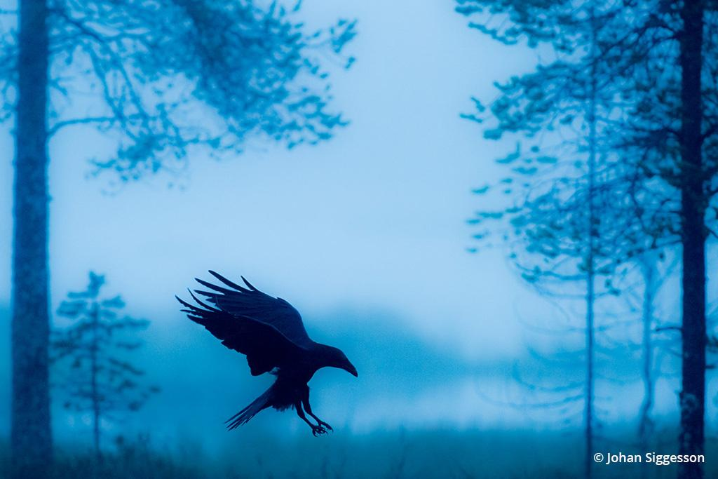 "Today's Photo Of The Day is ""Blue Raven"" by Johan Siggesson. Location: Eastern Finland."