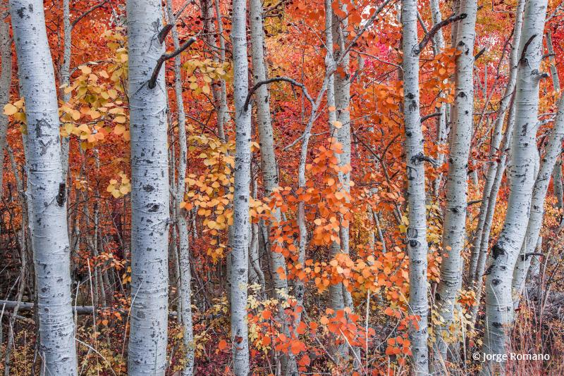"Today's Photo Of The Day is ""Aspens In Fall"" by Jorge Romano. Location: Inyo National Forest, California."