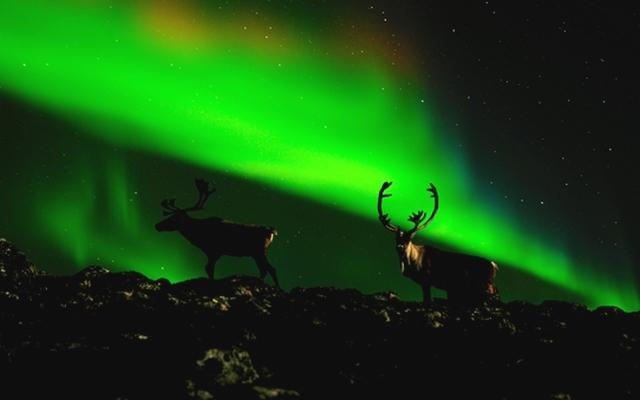 Migrating caribou silhouetted in a backdrop of northern lights – photo copyright David C. Olson