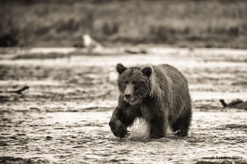 """Today's Photo Of The Day is """"Fishing"""" by Rebecca Wilks. Location: Katmai National Park, Alaska."""