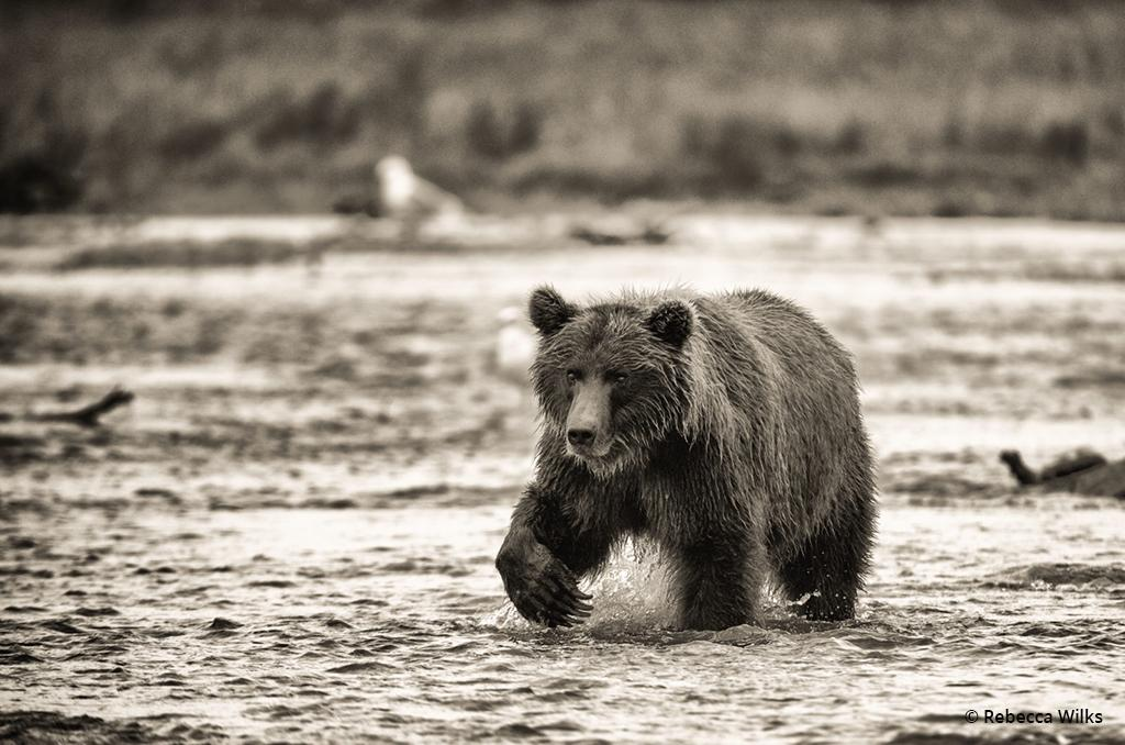 "Today's Photo Of The Day is ""Fishing"" by Rebecca Wilks. Location: Katmai National Park, Alaska."