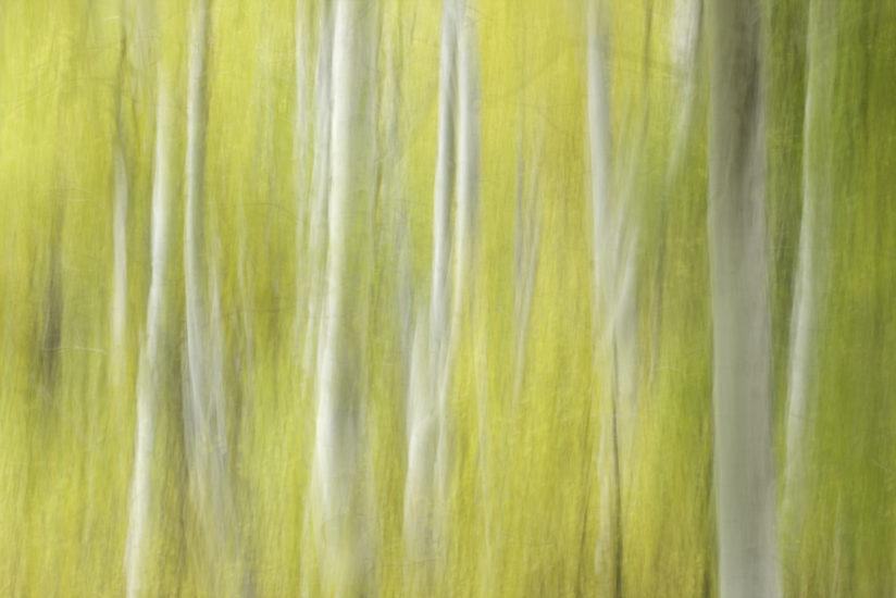 Motion Blur: Aspen Impressions #2, June Lake Loop, Inyo National Forest, California 2008.