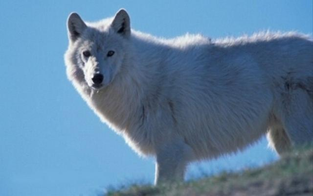 A lone tundra wolf alpha male watches us in the Canadian Arctic – photo copyright Eric Peterson