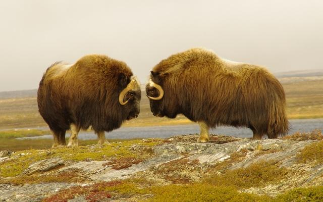 "Musk-ox bulls ""face off"" on the remote tundra of Nunavik – photo copyright Thomas Groening"