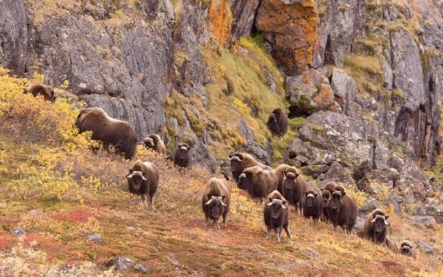 A musk-oxen herd watches and grazes in autumn colors on the tundra – photo copyright Horst Baender