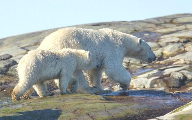 A polar bear & her yearling cub wander the shore in Ungava Bay Nunavik – photo copyright Mariela Urra