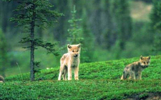 Tundra wolf pups on an esker green on the tundra – photo copyright Terry Elliot