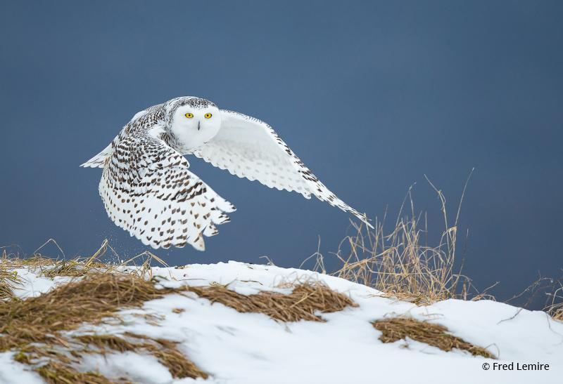 "Today's Photo Of The Day is ""Snowy Owl"" by Fred Lemire. Location: Quebec City, Canada."