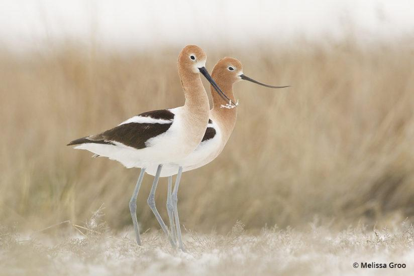 Mated American avocet pair pause during their nest building on a saline flat in northeast Montana.