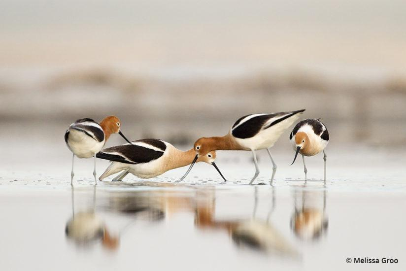 Along the edge of Montana's Bowdoin Lake in springtime, American avocet males face off in a territorial challenge.