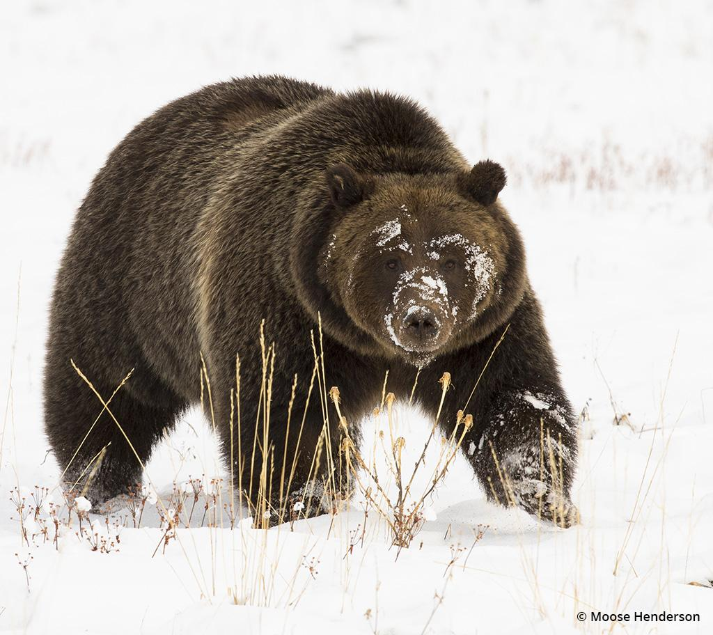Behind The Shot: Grizzly Bear In The Snow by Moose Henderson—Grand Teton National Park, Jackson, Wyoming