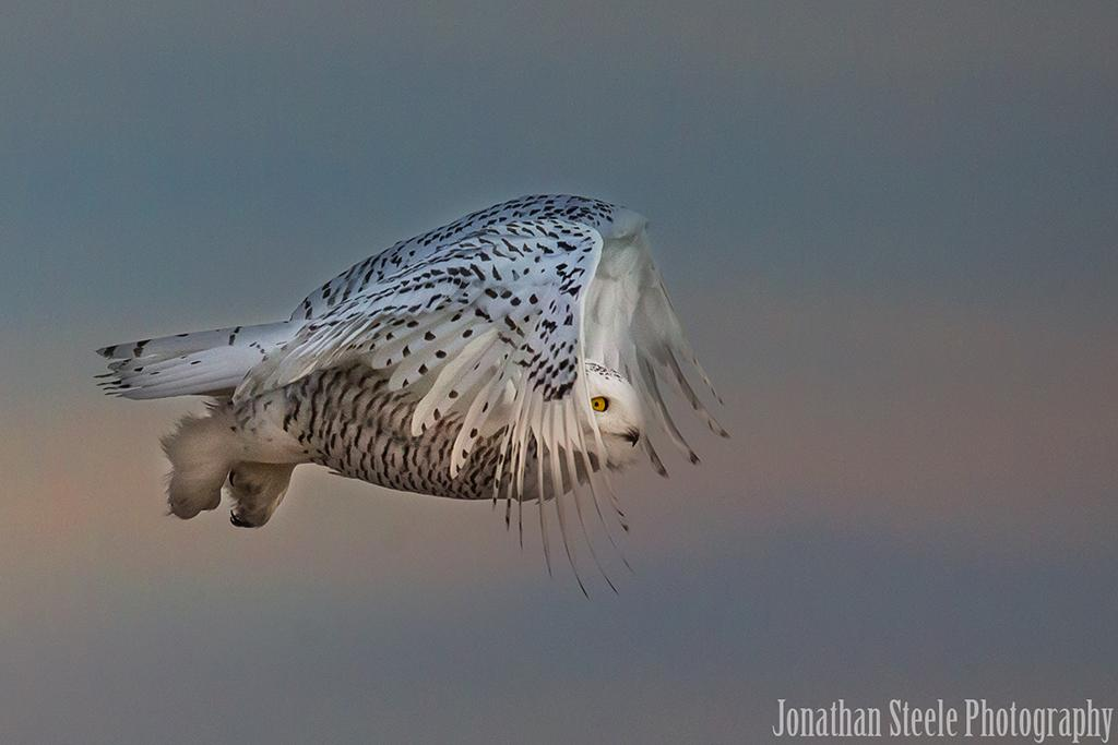 Behind The Shot: Wind Beneath The Wings By Jonathan Steele—A snowy owl photographed at Rye Harbor State Park in Rye, New Hampshire