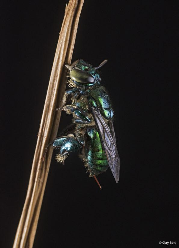 macro photography orchid bee Clay Bolt