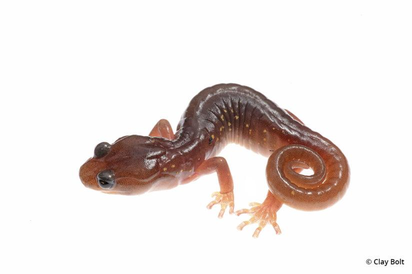 macro photography Arboreal salamander Clay Bolt