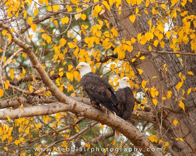 Today's Photo Of The Day is Fall Eagles by Deb Blair. Location: Bend, Oregon.