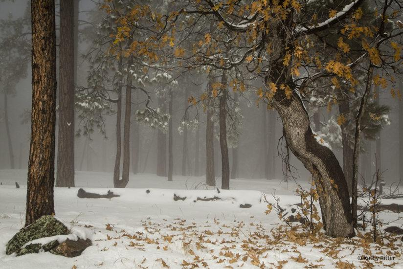 Today's Photo Of The Day is Fog Oak by Kathy Ritter. Location: Happy Jack, Arizona.
