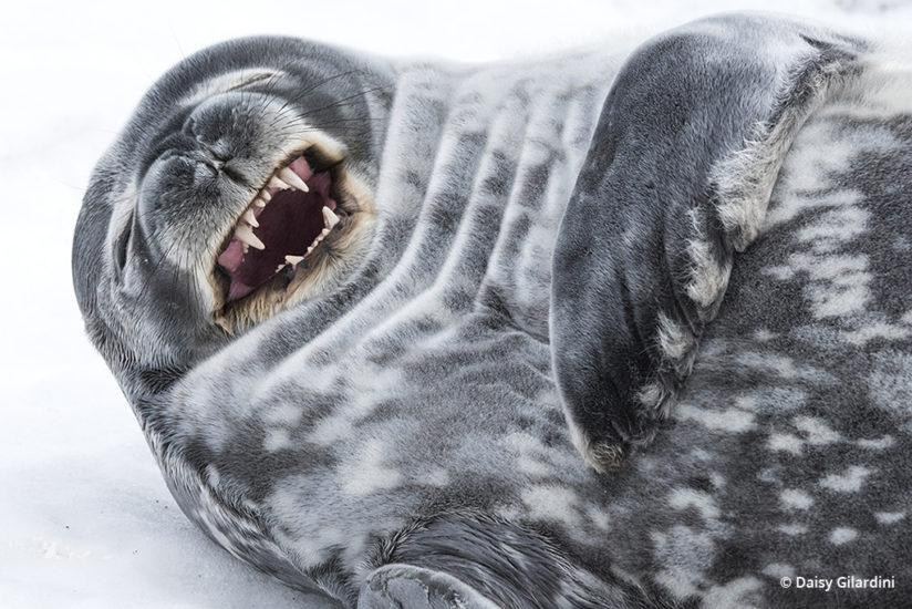 "A Weddell seal ""giggles"" while resting on a pebble beach on Half Moon Island in the South Shetland Islands of the Antarctic Peninsula."