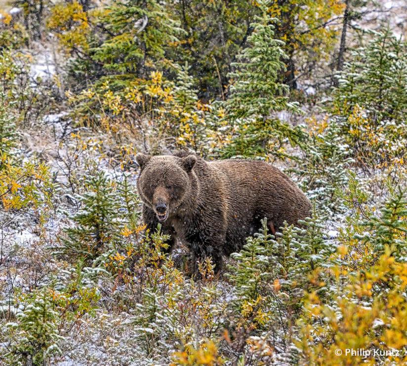 "Today's Photo Of The Day is ""Bearrrrrrr"" by Philip Kuntz. Location: Burwash Landing, Yukon, Canada."