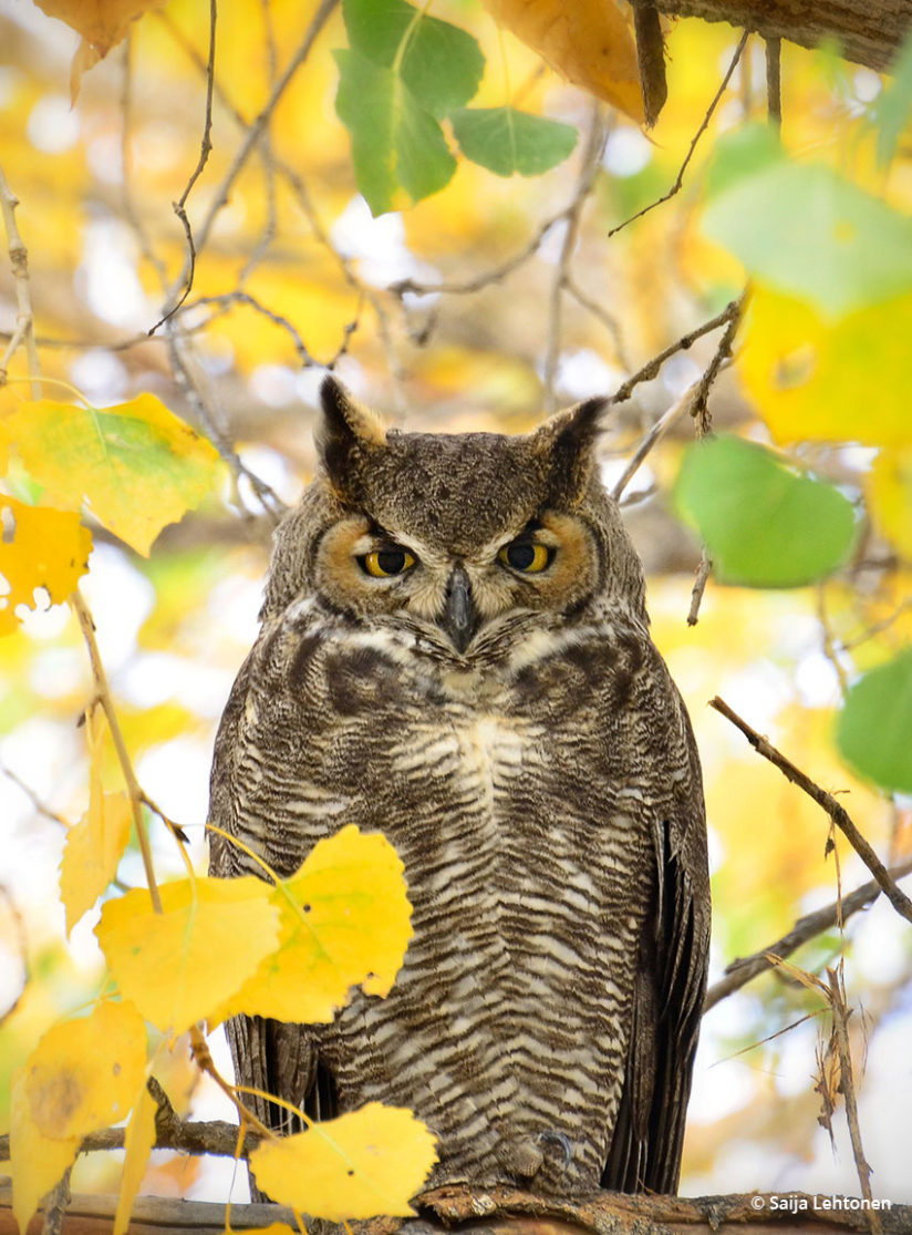 Today's Photo Of The Day is Great Horned Owl by Saija Lehtonen. Location: Apache Junction, Arizona.