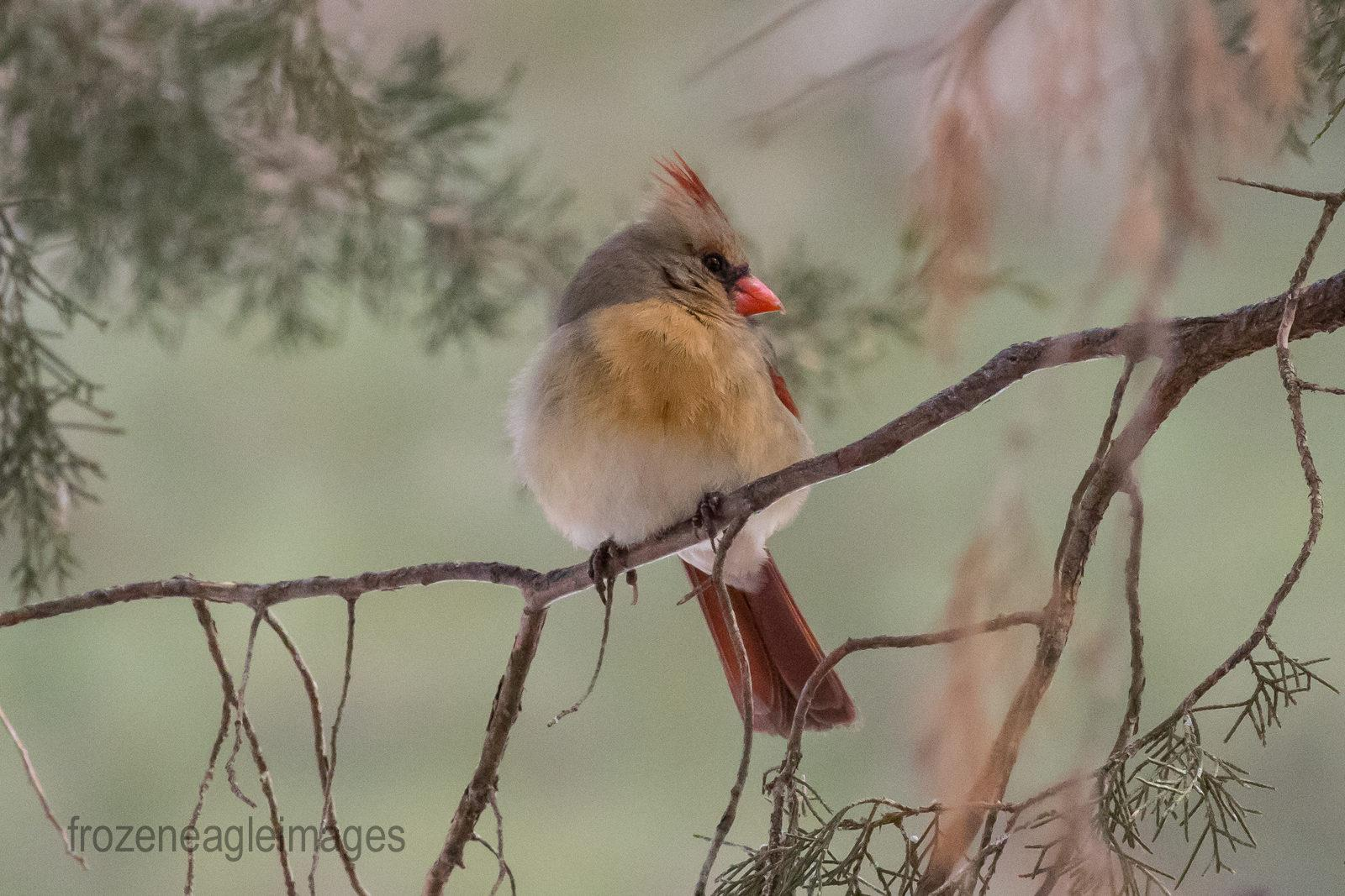 Today's Photo Of The Day is Cardinal by Bill Leib.