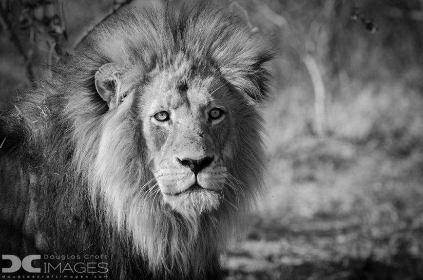 "Today's Photo Of The Day of a lion is titled ""King of the Beasts"" by Douglas Croft. Location: Kruger National Park, South Africa."