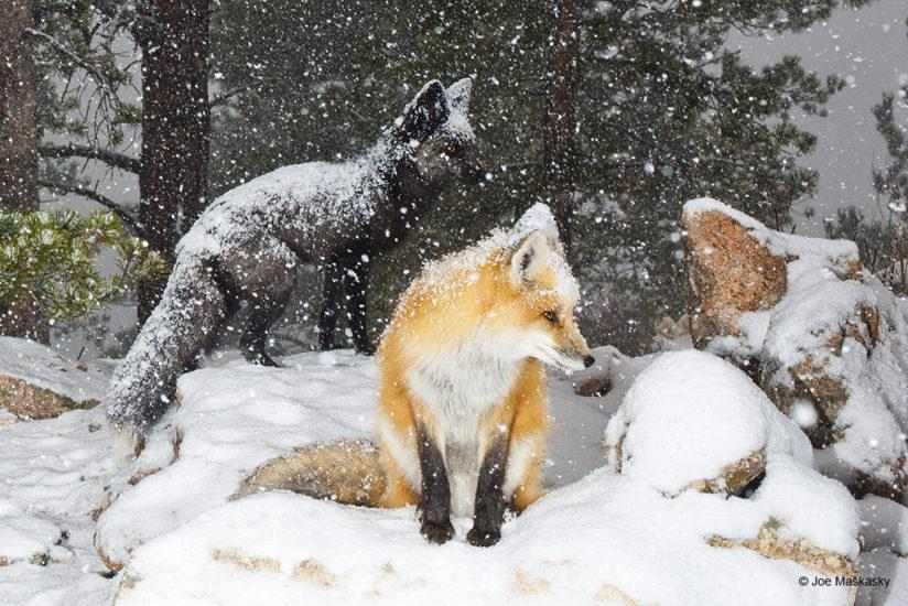 Foxes Stare In Snowstorm, Bailey, Colorado