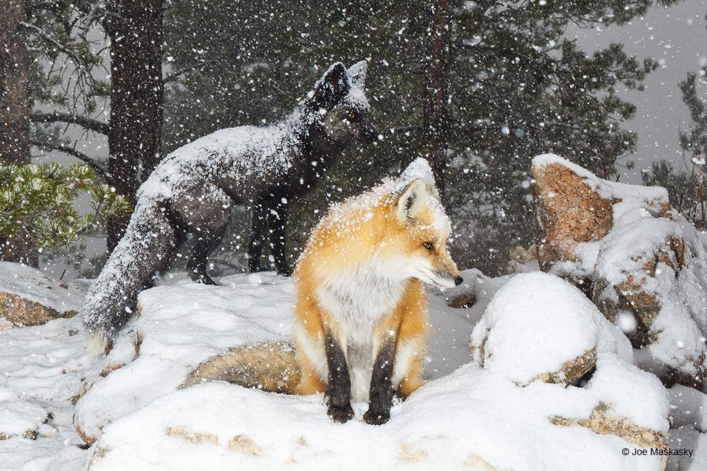 foxes-stare_blog
