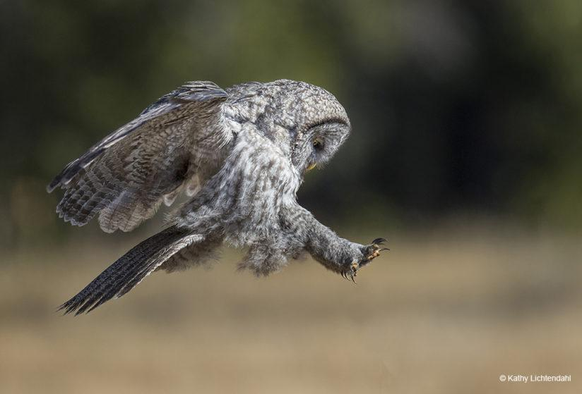 "Today's Photo Of The Day of great gray owl is called ""Coming in for a Landing"" and was taken by Kathy Lichtendahl. Location: Yellowstone National Park, Wyoming."