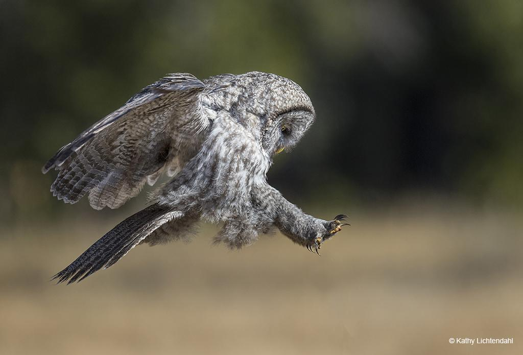 "Today's Photo Of The Day is ""Coming in for a Landing"" by Kathy Lichtendahl. Location: Yellowstone National Park, Wyoming."