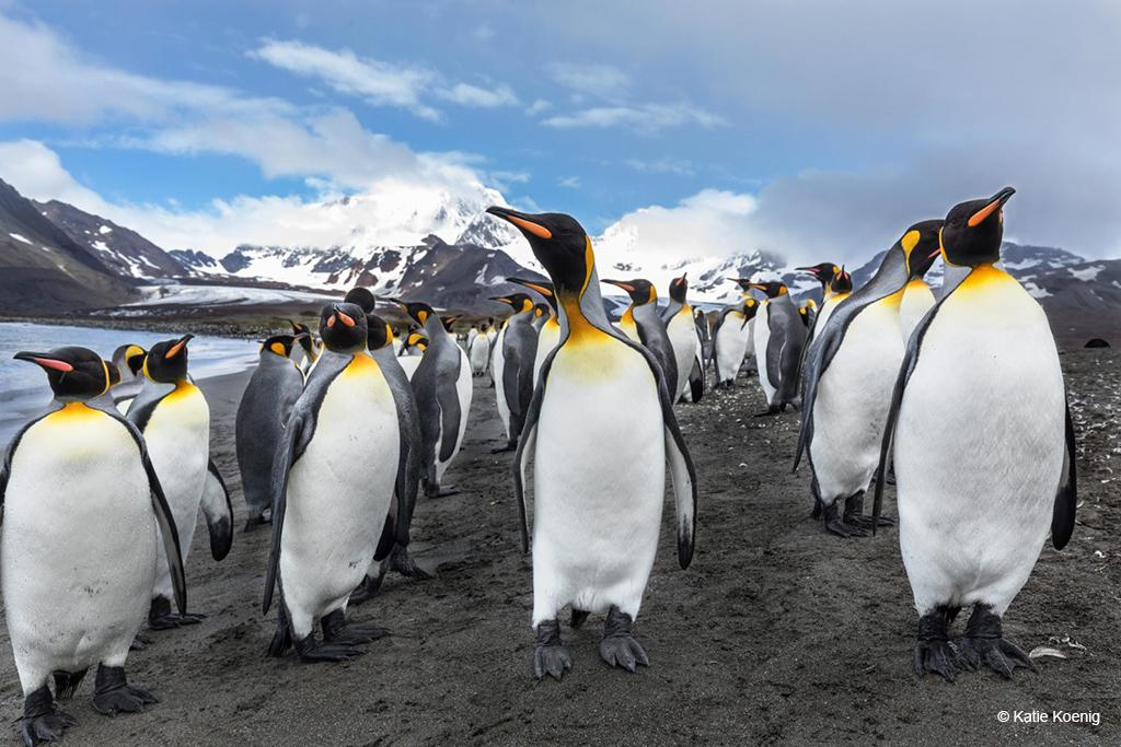 Today's Photo Of The Day: King Penguins by Katie Koenig. Location: South Georgia.