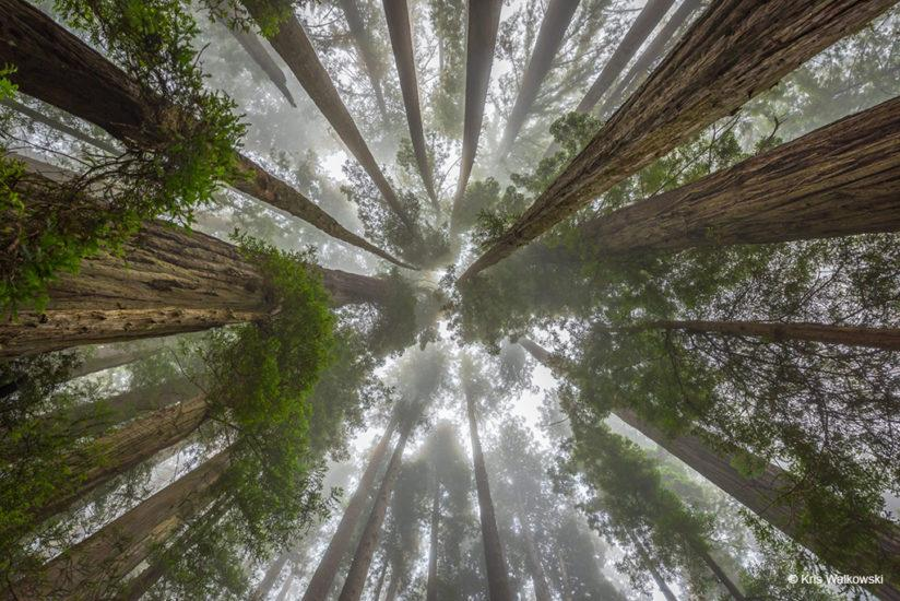 Today's Photo Of The Day is Ancient Redwoods by Kris Walkowski. Location: Redwood National Park, California.